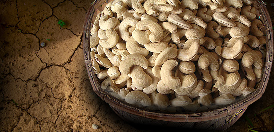 An ISO 22000 – 2005 Certified Cashew Company